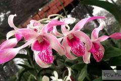 Lankan Orchids