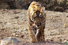 Tadoba Andhari Tiger Reserve is located in Chandrapur district, Maharashtra state, India.