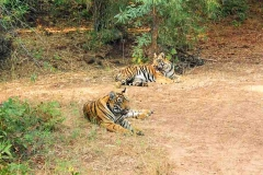Safari is the main attraction in Tadoba national park. The park provides open Gypsy safari and bus safari along with guides.